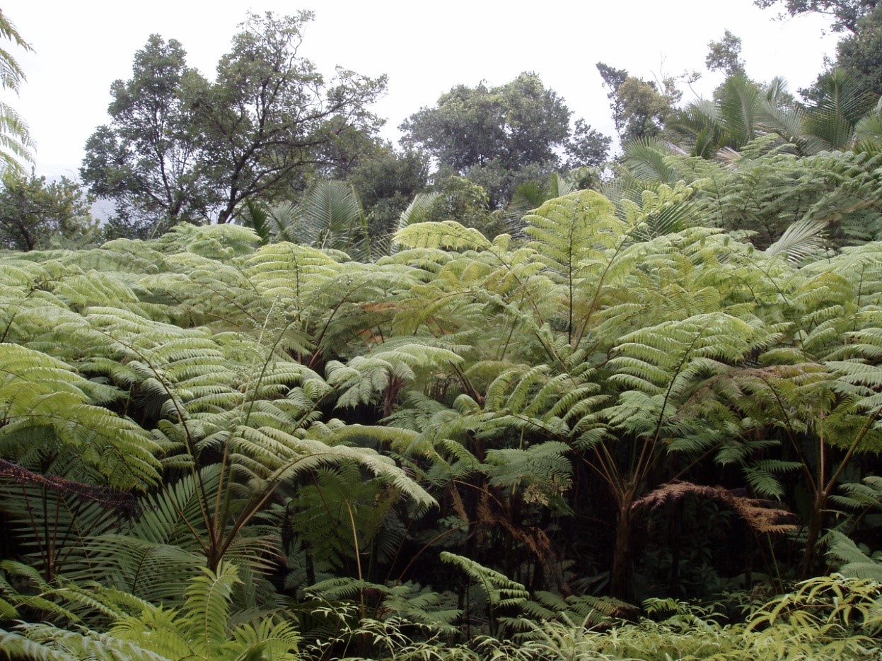 Figure 3. Tree ferns dominate many Puerto Rican landslides.