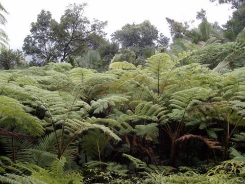 Figure 3. Tree ferns dominate many Puerto Rican landslides.